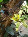 Passiflora coriacea BotGardBln1105Flower.JPG
