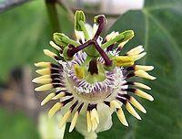 Passiflora punctata1