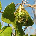 Passion Flower Fruit - Flickr - treegrow.jpg