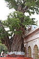 Patan Devi Temple Ancient imli tree.JPG