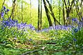 Path Of Bluebells.jpg