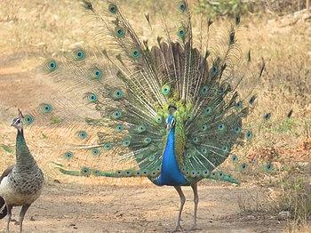 Peacock17.jpg