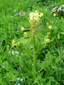 Pedicularis foliosa
