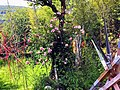 Pedro Meier Multimedia Artist – Mikado-Skulpturen inmitten von Rosen und Bambus – Skulpturengarten Atelier Niederbipp alias Amrain 2018 – Foto by © Pedro Meier Multimedia Artist.jpg