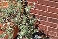 Pelargonium abrotanifolium 3zz.jpg