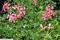 Pelargonium peltatum Mini cascade pink 1zz.jpg