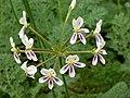 Pelargonium triste Stellenbosch BG umbel.jpg