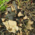 Peltigera sp. - Flickr - pellaea (1).jpg
