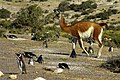 Penguins and Guanaco.jpg