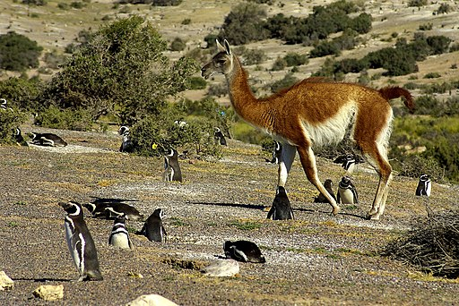Penguins and Guanaco