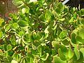 Penny tree leaves.jpg