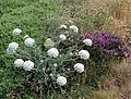 Pentire headland wildflowers - geograph.org.uk - 1092460.jpg