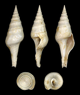 Clavatulidae Family of gastropods
