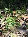 Persicaria minor sl6.jpg