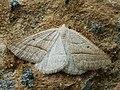 Petrophora chlorosata - Brown silver-line - Пяденица папоротниковая (40935306431).jpg