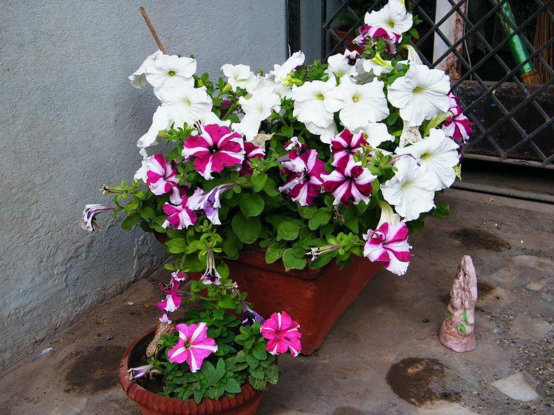 البتونيا الرائعة البتونيا 800px-Petunia_white_