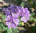 Phacelia crenulata 11.jpg