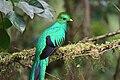 Pharomachrus mocinno Monteverde 05.jpg