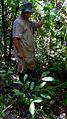 Pharus latifolius L. (14990619545).jpg