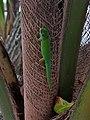 Phelsuma astriata Praslin Seychelles 01.jpg