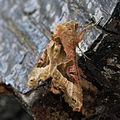 Phlogophora meticulosa, Angle Shades Moth, UK.jpg
