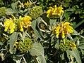 Phlomis fruticosa - Kreta.jpg