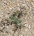 Phlox stansburyi small plant in flower.jpg