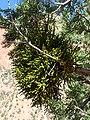 Phoradendron juniperinum kz06.jpg