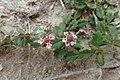 Phyla nodiflora kz02.jpg