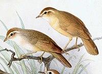 Phylloscopus schwarzi 1889.jpg
