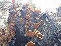 Phyllotopsis nidulans 106050910.jpg