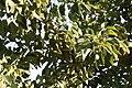 Phytolacca dioica 10zz.jpg