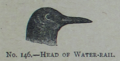 Picture Natural History - No 146 - Head of Water-rail.png