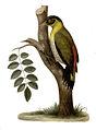 Picus erythropygius.jpg
