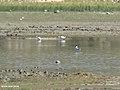 Pied Avocet (Recurvirostra avosetta) (46541693642).jpg