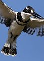 Pied Kingfisher, Ceryle rudis, at Pilanesberg National Park, South Africa (28475609085).jpg