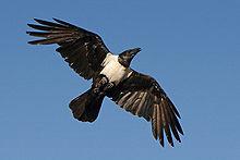 Un esemplare in volo mostra le grandi ali e la lunga coda.