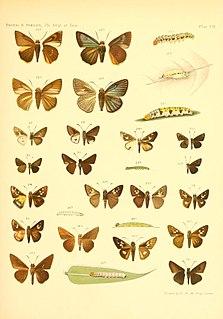<i>Ge</i> (skipper) genus of insects