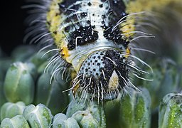 Pieris brassicae (caterpillar) Portrait.jpg