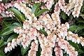 Pieris japonica Dorothy Wyckoff 6zz.jpg