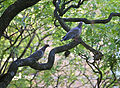 Pigeon Courting (5364015935).jpg