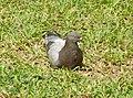 Pigeon biset ( Columbidae ).jpg