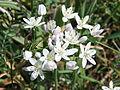PikiWiki Israel 19231 Allium.JPG
