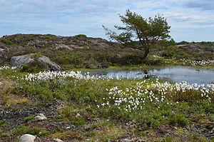 Eriophorum angustifolium - Flowering in April