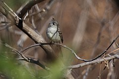 Pileated Flycatcher 2395569157.jpg