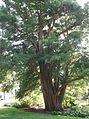 Pinales - Taxodium distichum 1.jpg
