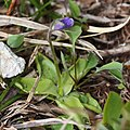 Pinguicula vulgaris var. macroceras (bud).jpg