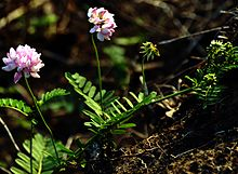 Pink Flowers Crown Vetch DSC 0076.JPG