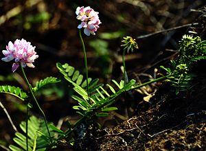 Securigera varia - Crownvetch in bloom
