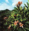 Pink frangipane Seychelles.jpg